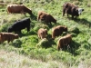 Farm Produce - Highland Cattle