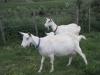 Farm Produce - Saanen-goat